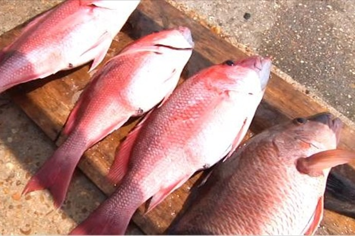 Red Snapper_-3937120887885575740