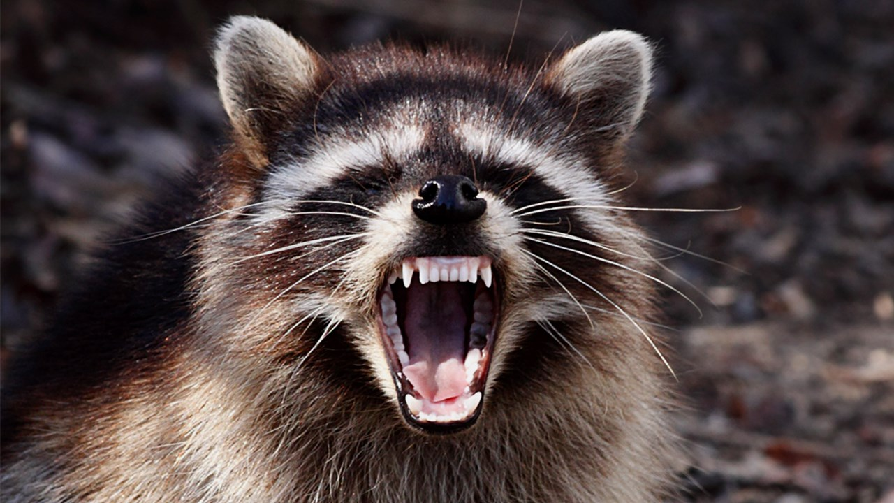 RACCOON_1532553043094.JPG