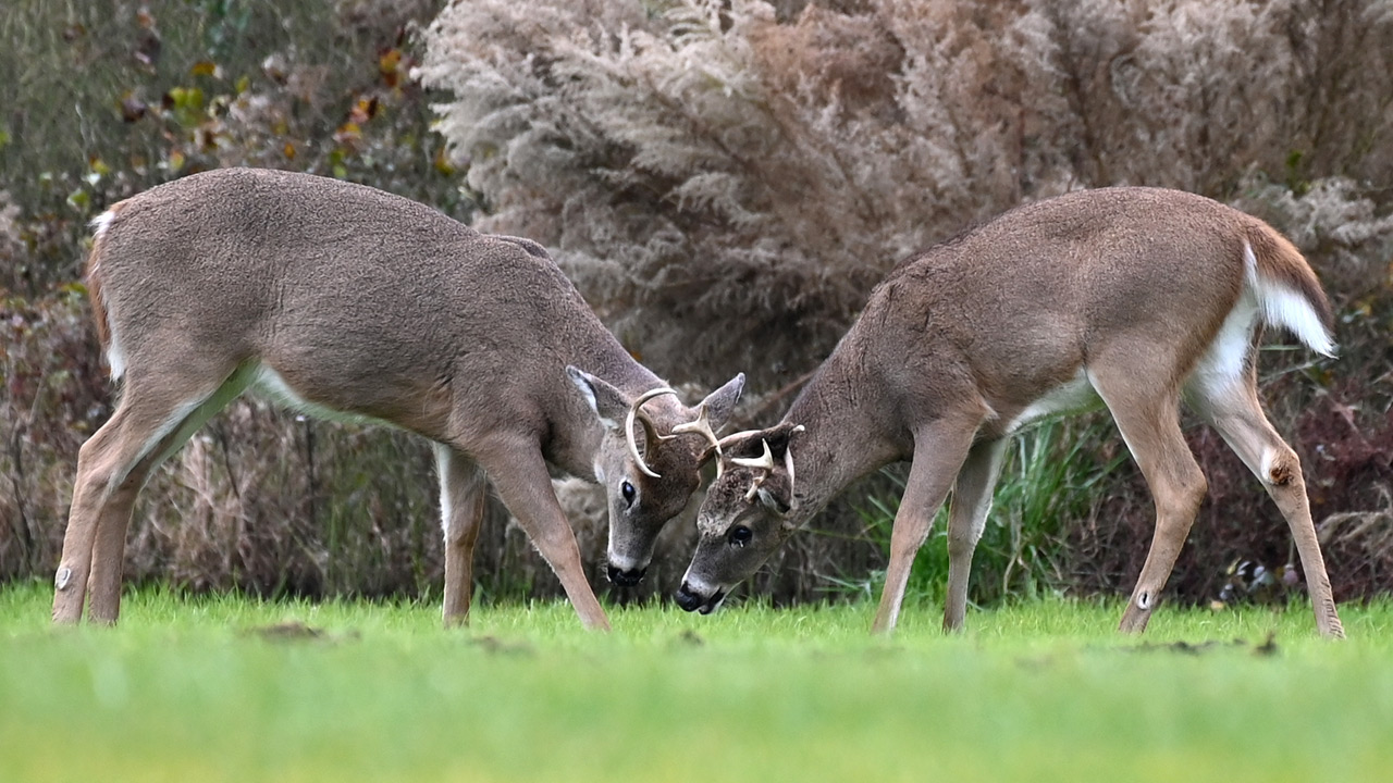 Deer with hairy eyeballs found in Tennessee